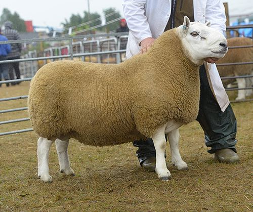 Rimsdale Eyecatcher, who won Male Champion award at all the shows he was at. Courtesy of Scottish Farmer