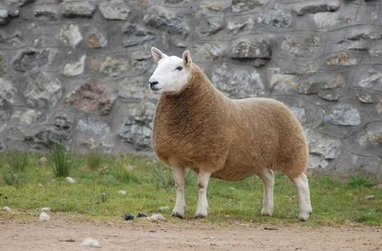 champion hill sheep